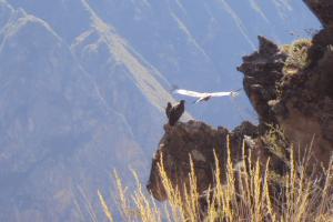 Condors in Colca Canyon, Peru