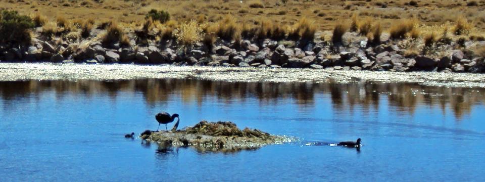 andean birds, Colca