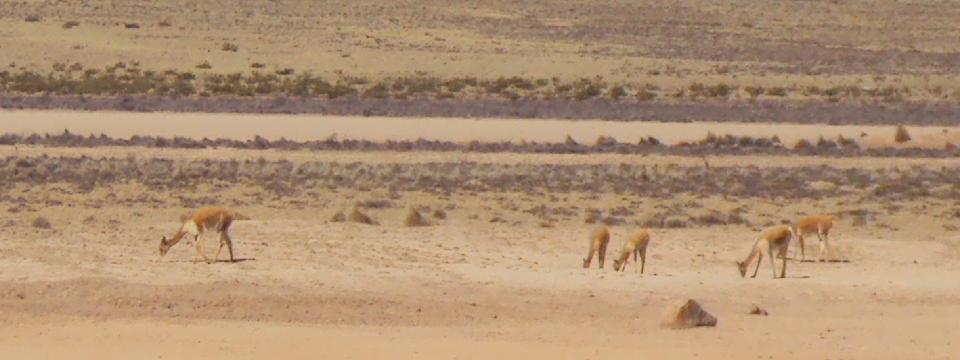 Colca, Vicuñas in Pampa Cañahuas, Peru