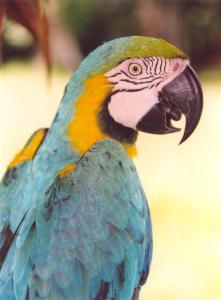 Papagay-Tambopata-Peru-221x300